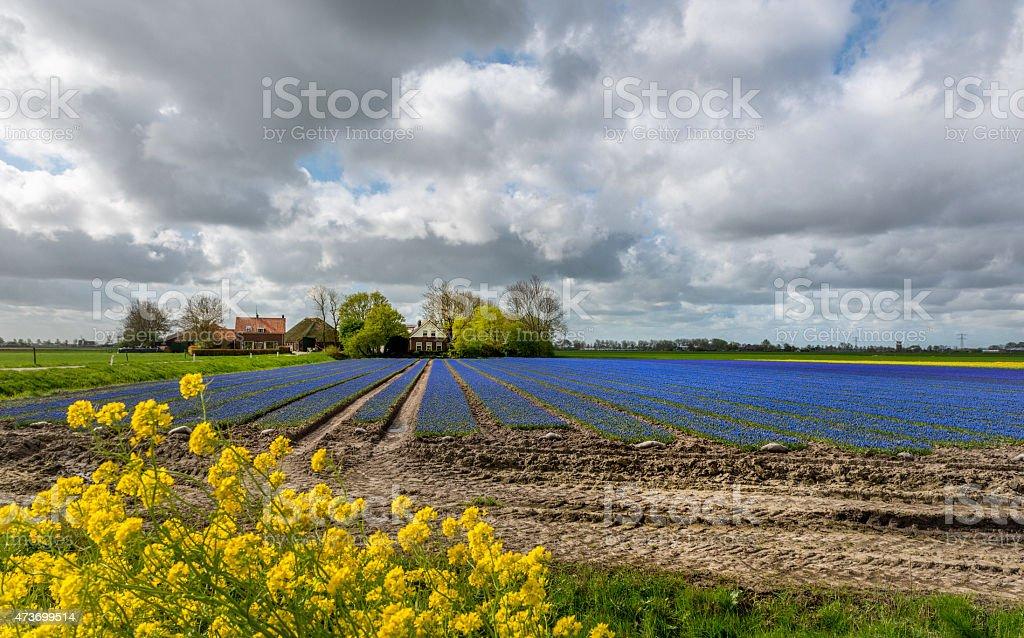 Dutch Polder Scene in springtime with tulip field and farm stock photo