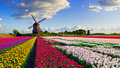 Colorful tulip field in front of Dutch windmills under a nicely clouded sky