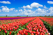 Colorful tulip field in front of traditional Dutch windmills and a church of a small village.