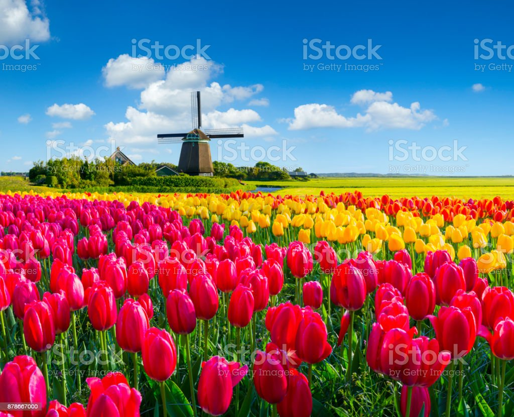 Dutch Spring Scene - Royalty-free Agricultural Field Stock Photo