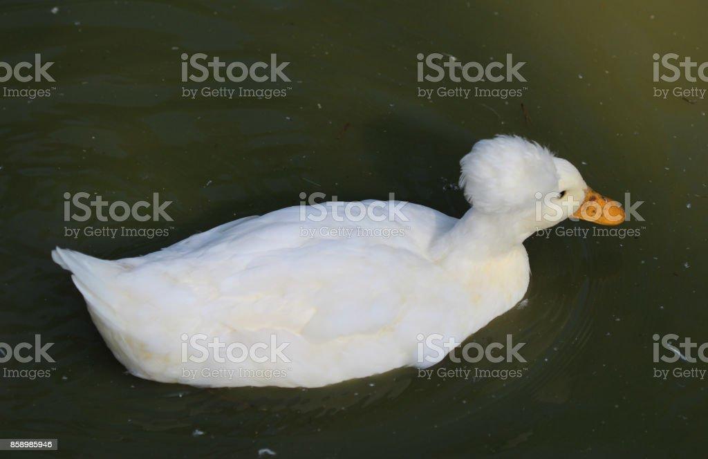 Dutch tufted duck stock photo