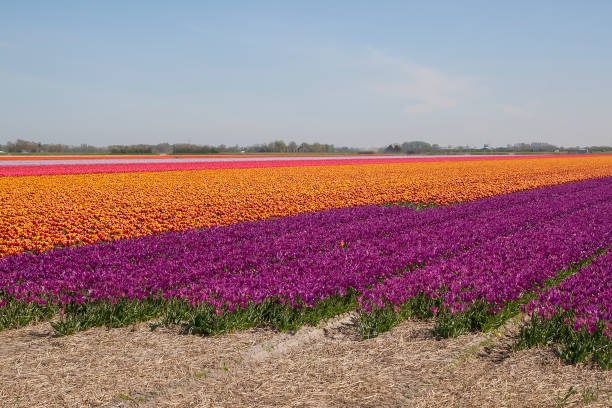 Niederländische Tulpe Blume Feld, blauer Himmel Hintergrund. – Foto