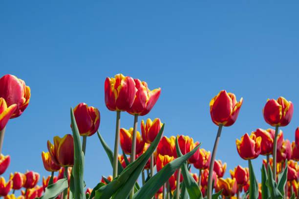 Niederländische Tulpe Blume Feld. Helle bunte Tulpen, blauer Himmel Hintergrund – Foto
