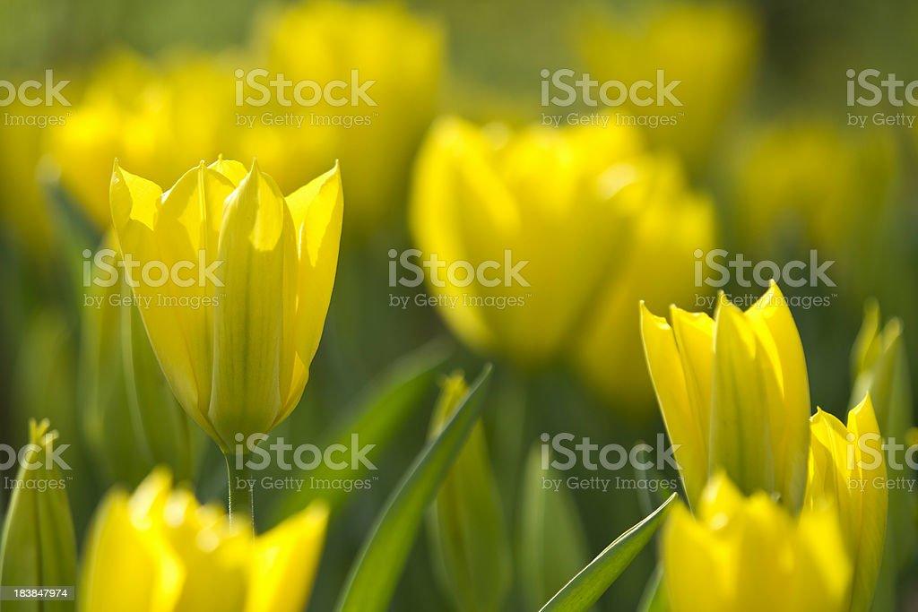 Dutch Tulips royalty-free stock photo