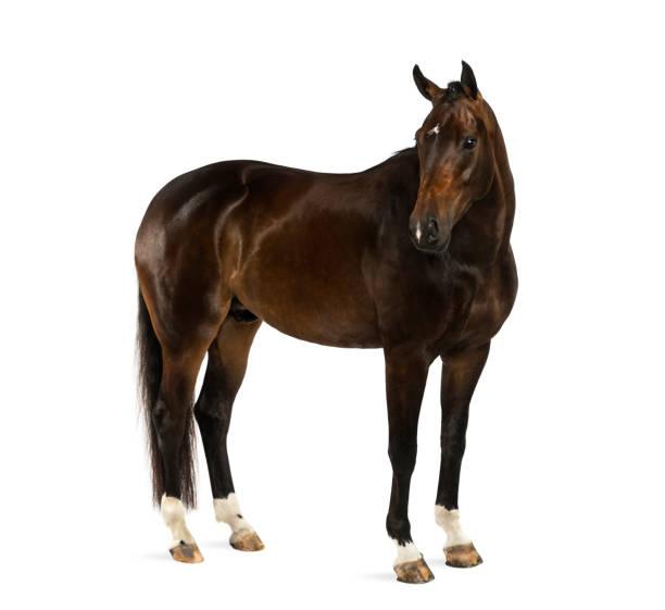 kwpn - dutch warmblood, 3 years old - equus ferus caballus - cavallo equino foto e immagini stock