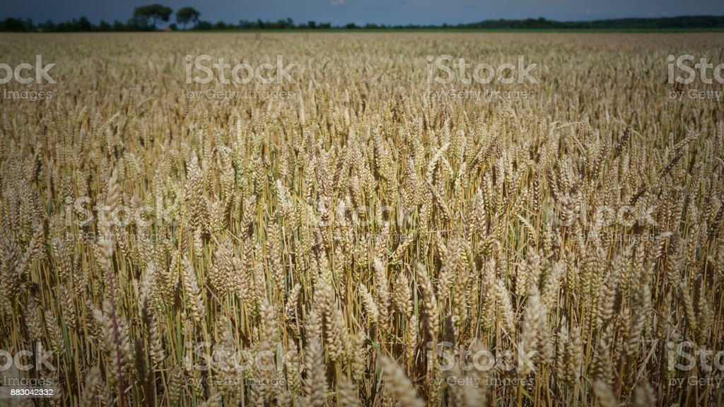 Dutch Wheat Field - Royalty-free Agricultural Field Stock Photo
