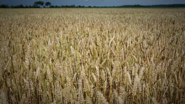 Dutch Wheat Field stock photo