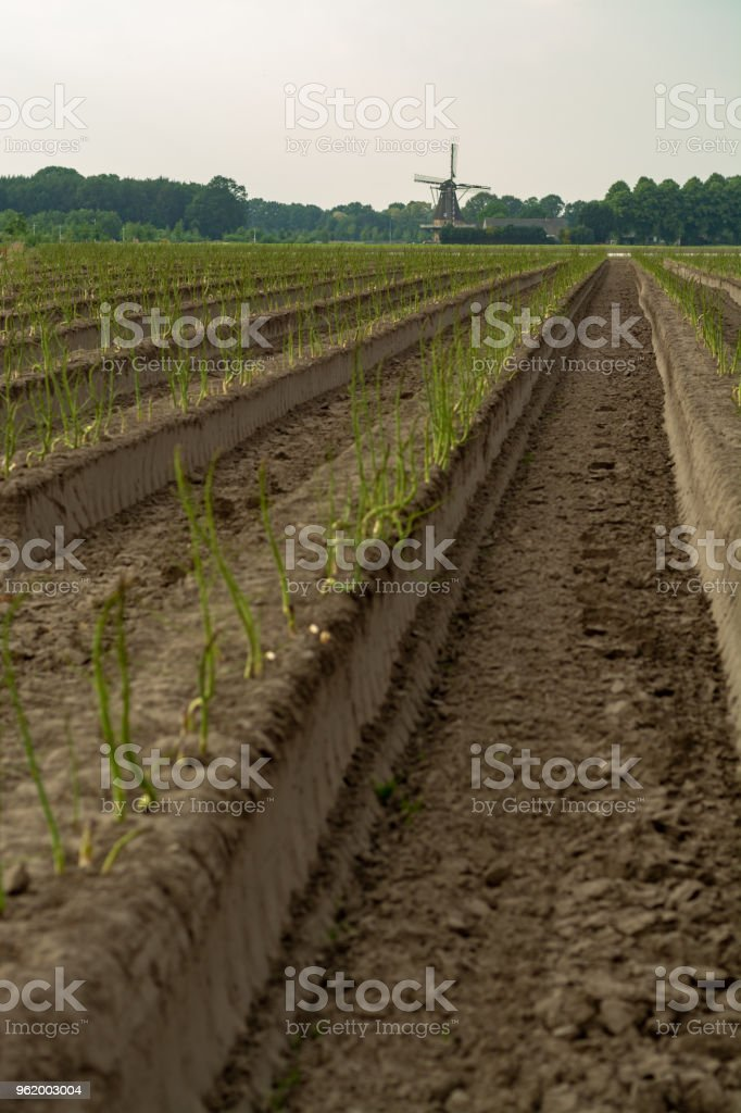 Dutch white gold vegetable, growing green asparagus plants after seasonal harvesting of white asparagus and removing of sun lights protector from plastic film stock photo