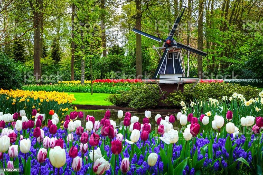 Dutch windmill and colorful fresh tulips in Keukenhof park, Netherlands stock photo