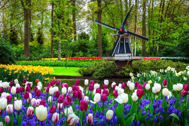 Dutch windmill and colorful fresh tulips in Keukenhof park, Netherlands stock photo
