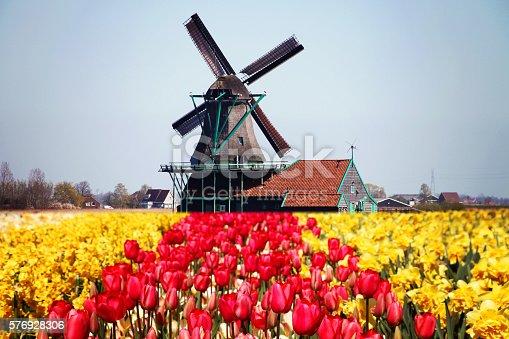Dutch windmill tulip flowers field spring, Netherlands