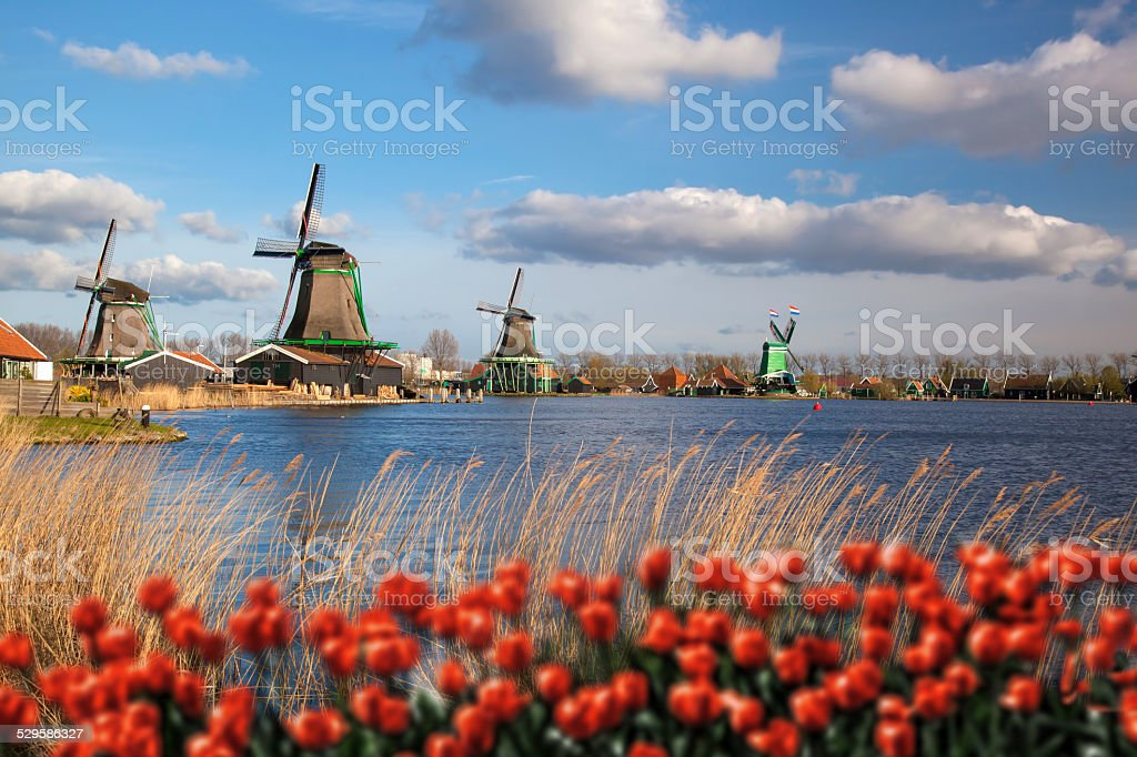 Dutch windmills with red tulips close the Amsterdam, Holland stock photo