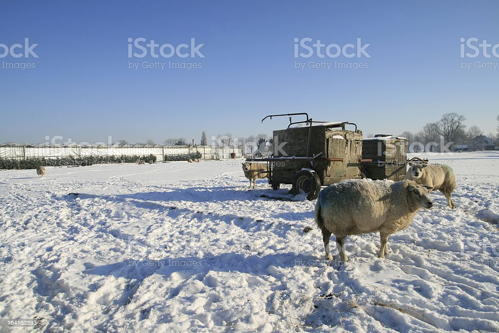 Dutch winter landscape with sheep royalty-free stock photo