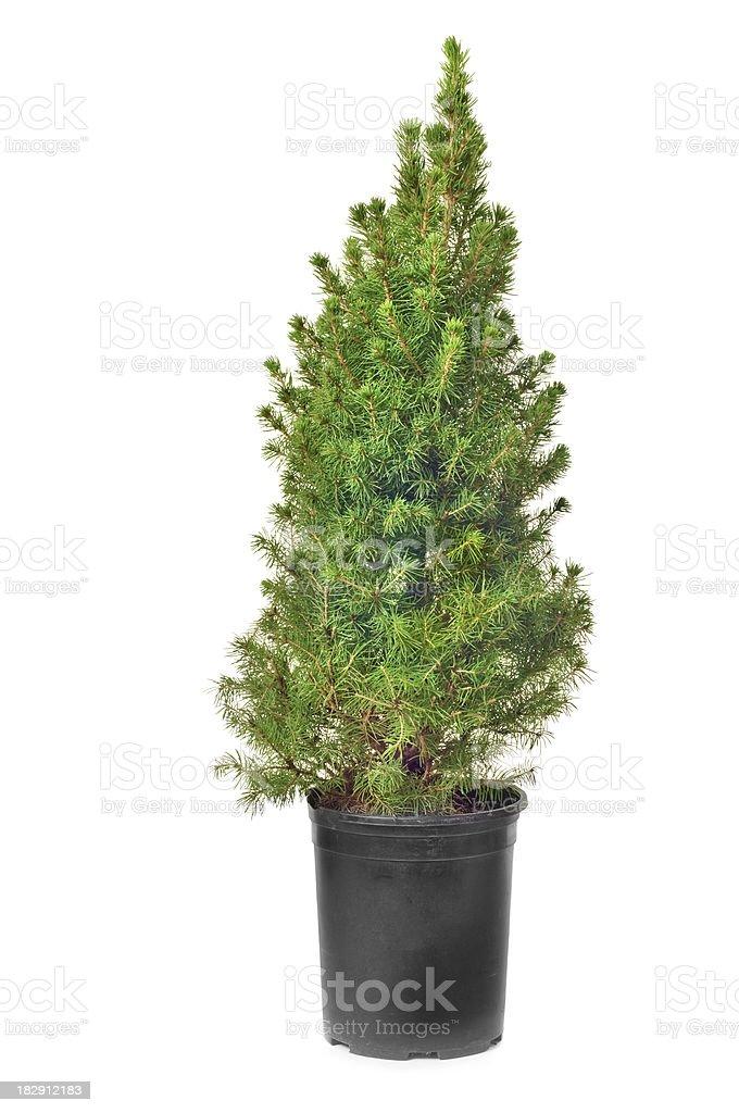 Dwarf Alberta Spruce royalty-free stock photo