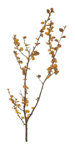 Dwarf birch, Betula nana in autumn colors isolated on white background stock photo