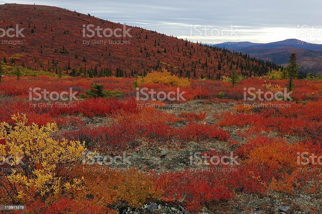 Dwarf birch in fall colors stock photo