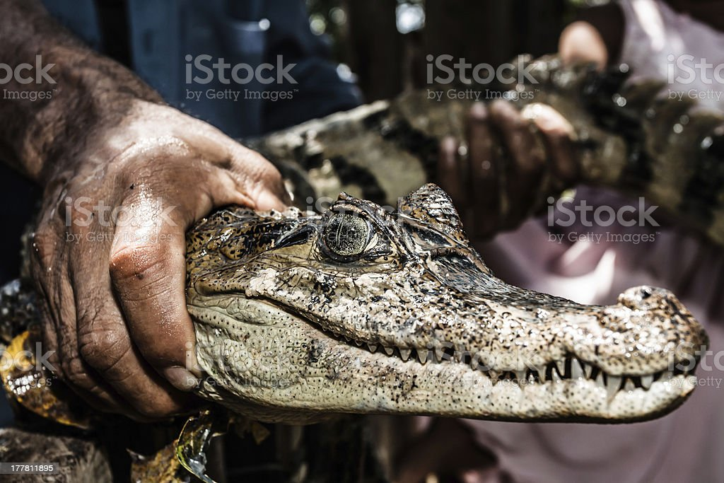 Dwarf Caiman (Palaeosuchus trigonatus) In rainforest, eastern Ecuador stock photo