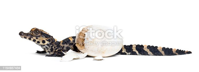 Dwarf crocodile, Osteolaemus tetraspis also know as African dwarf crocodile, broad-snouted crocodile, or bony crocodile with egg looking at camera against white background