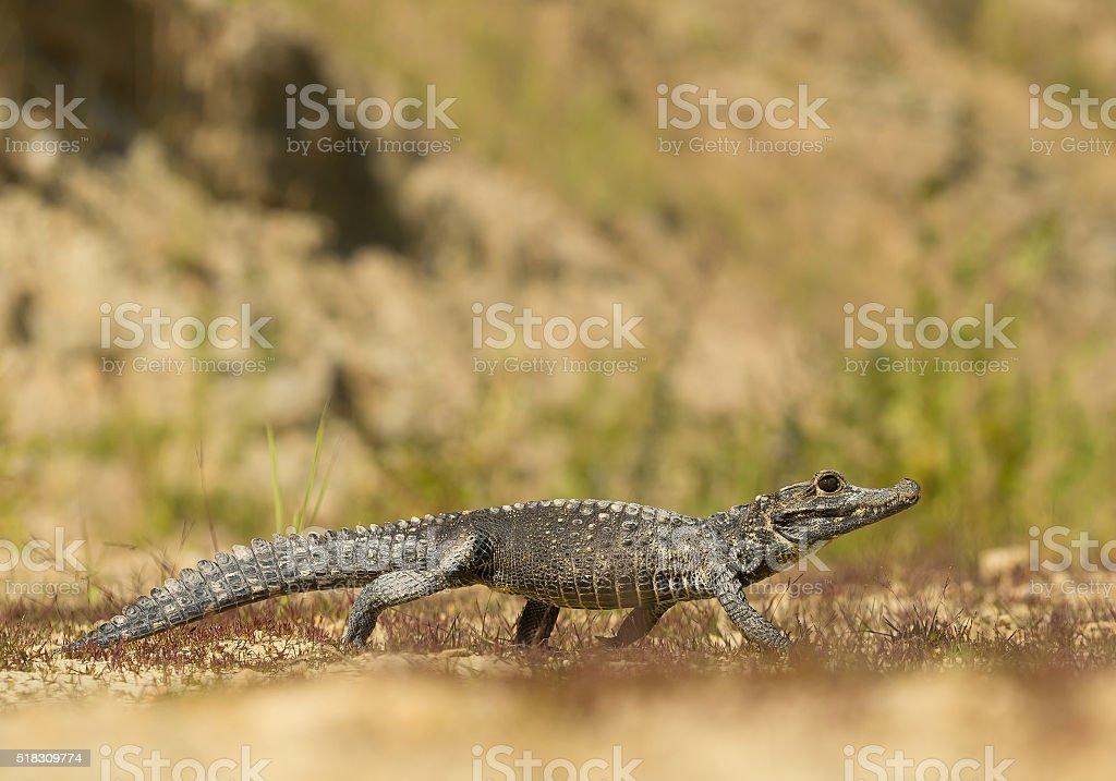 Dwarf crocodile walking stock photo