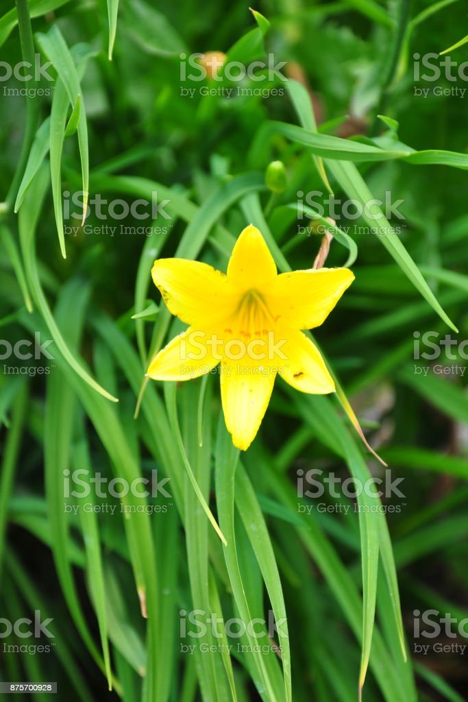 Dwarf daylily (Hemerocallis minor) stock photo
