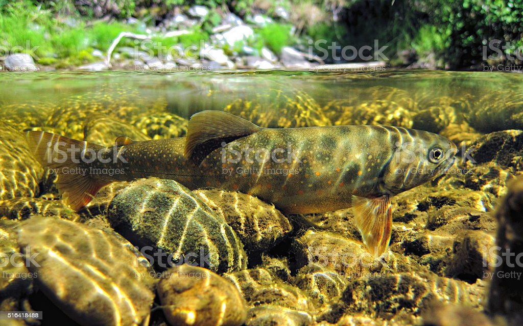 Dwarf dolly varden stock photo