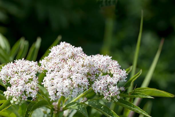 zuckerhut ältere, danewort (sambucus ebulus) - weißer holunder stock-fotos und bilder
