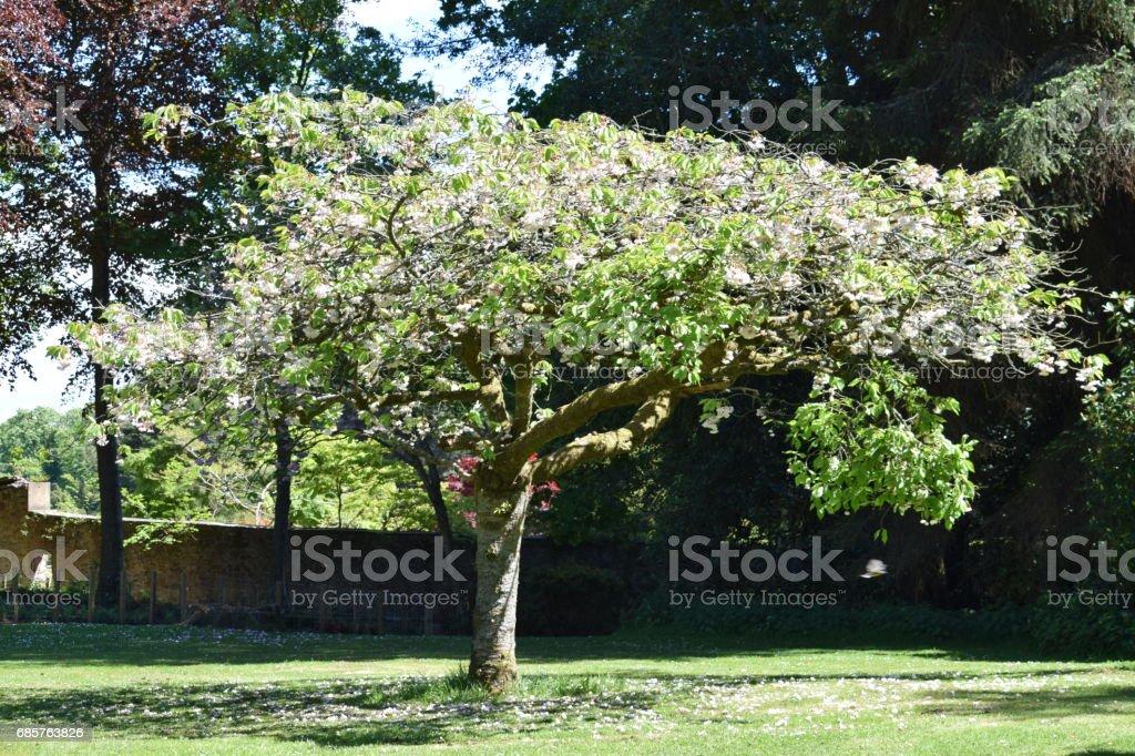 Dwarf Flowering Cherry Stock Photo Download Image Now Istock