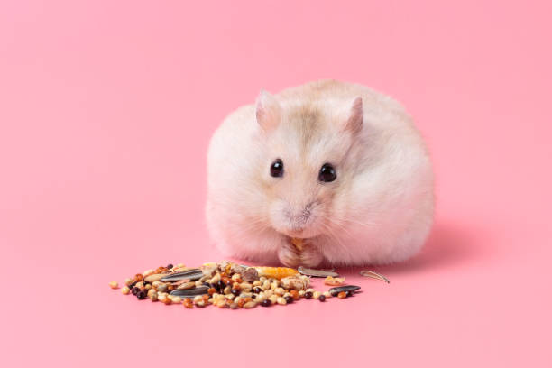 Dwarf fluffy hamster eats grain on pink background front view. stock photo