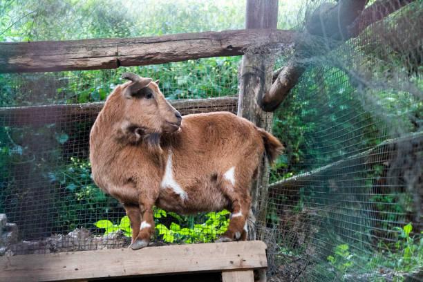 Zwerg-Ziegen auf Bauernhof – Foto