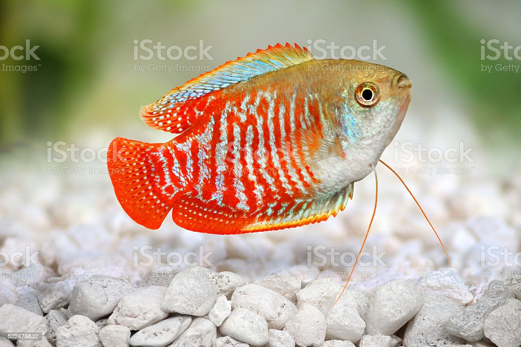 Dwarf gourami Trichogaster lalius tropical aquarium fish stock photo