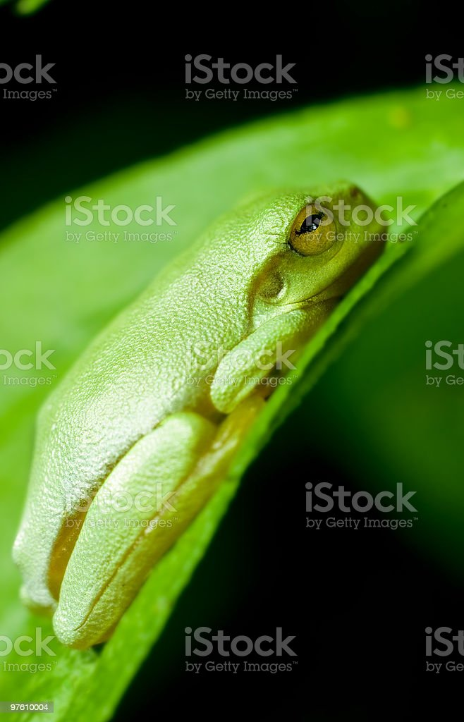 Dwarf green tree frog (Litoria Bicolor) royalty-free stock photo