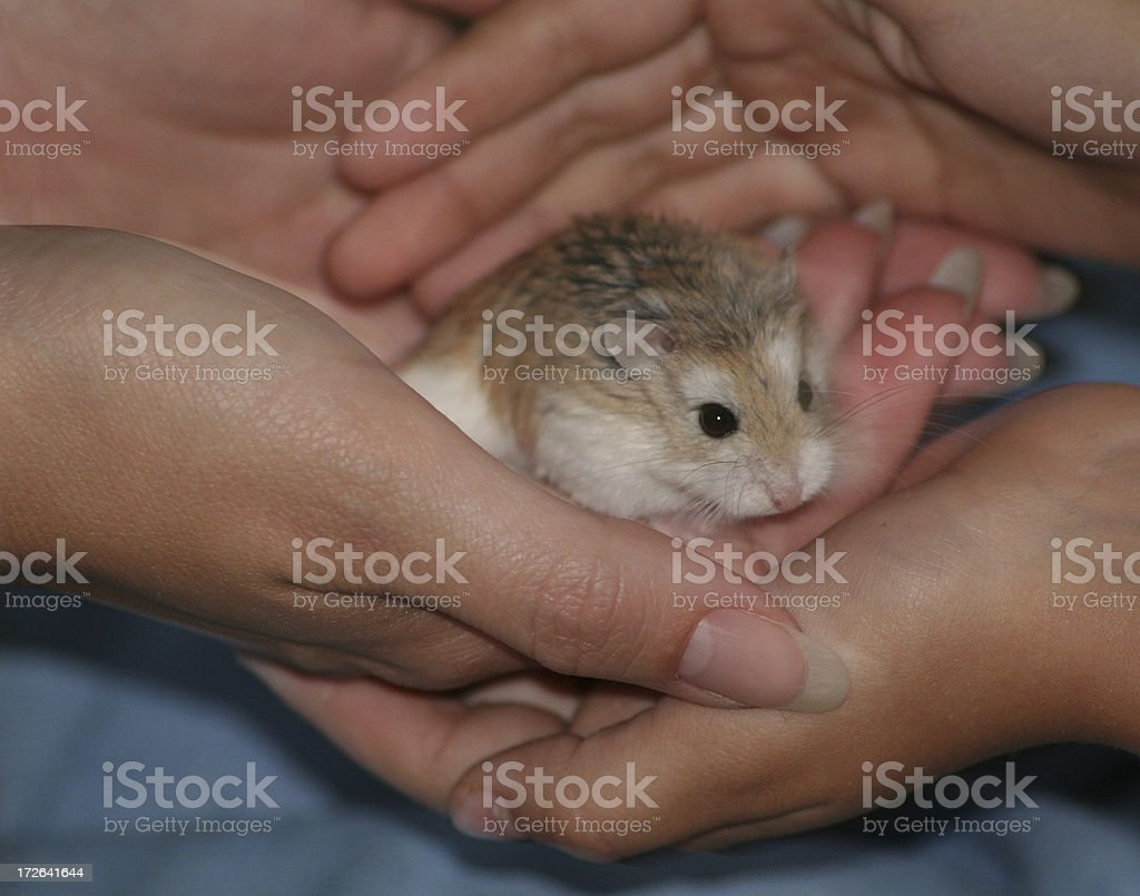 Dwarf Hamster royalty-free stock photo