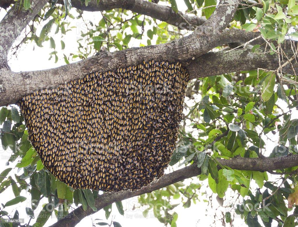 Dwarf honeybees hive royalty-free stock photo