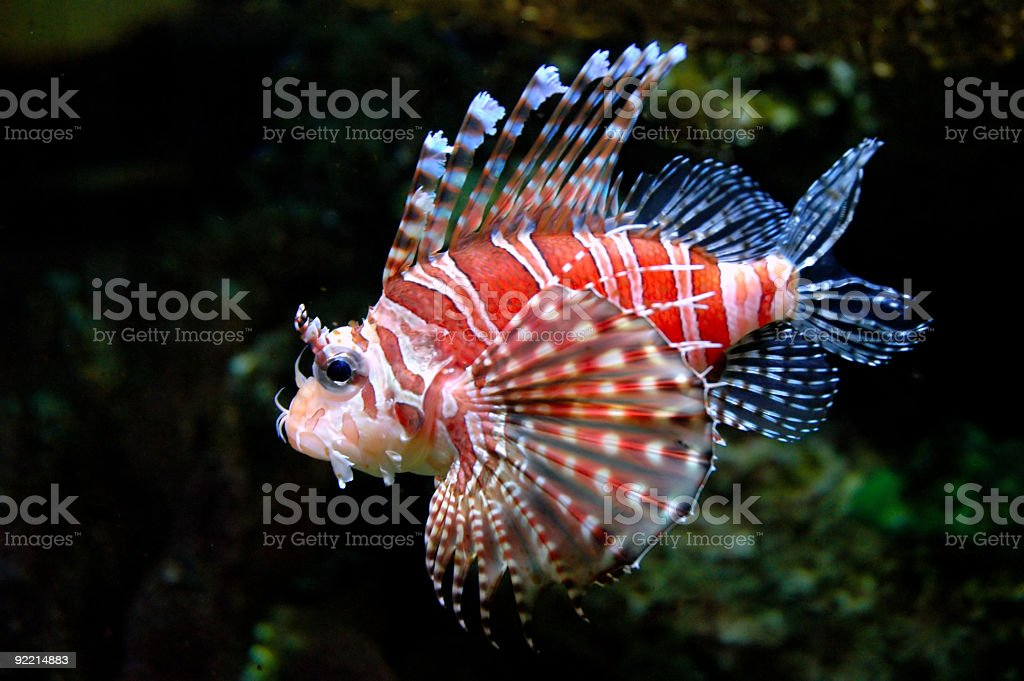 Dwarf lionfish 3 stock photo