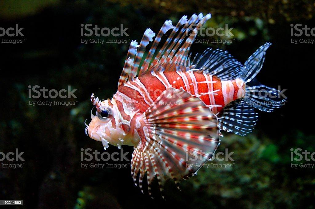 Dwarf lionfish 3 stock photo