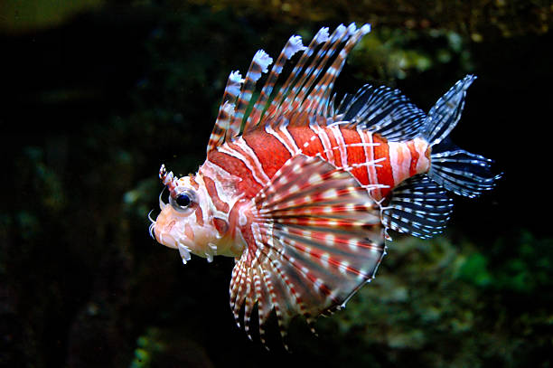 dwarf lionfish 3 - lionfish stock photos and pictures