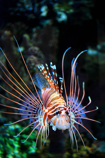 dwarf lionfish - lionfish stock photos and pictures