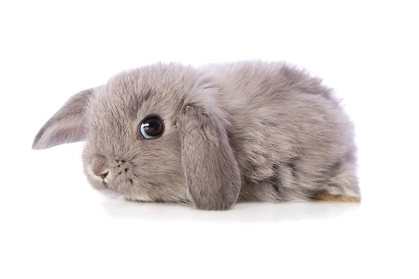 Dwarf Lop Eared Baby Rabbit stock photo