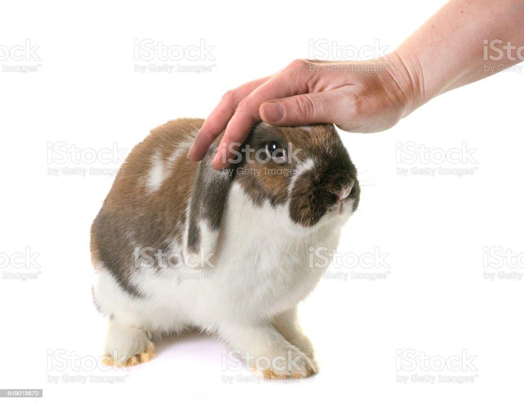 Dwarf lop-eared rabbit stock photo