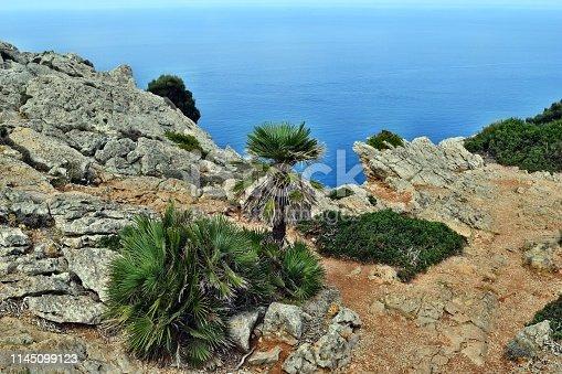 1145102719 istock photo Dwarf mediterranean palm chamaerops humilis 1145099123