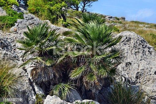 1145102719 istock photo Dwarf mediterranean palm chamaerops humilis 1145102719