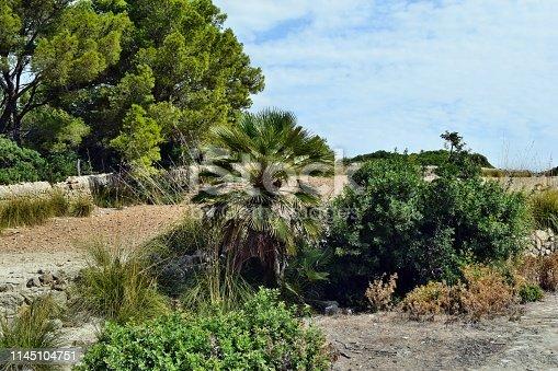 1145102719 istock photo Dwarf mediterranean palm chamaerops humilis 1145104751