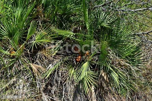 1145102719 istock photo Dwarf mediterranean palm chamaerops humilis 1145104814