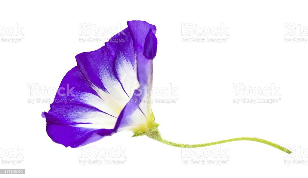 Dwarf Morning Glory flower isolated on white stock photo