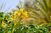 Dwarf Poinciana Latin name Caesalpinia pulcherrima flowers