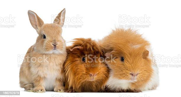 Dwarf rabbit and guinea pigs isolated on white picture id186252979?b=1&k=6&m=186252979&s=612x612&h=w3xdncvaohue szhhwwh vkpxebojlkotxveqsdpwlm=