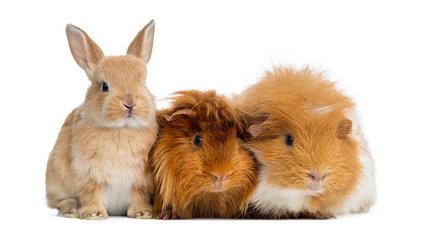 Dwarf rabbit and Guinea Pigs, isolated on white Dwarf rabbit and Guinea Pigs, isolated on white rodent stock pictures, royalty-free photos & images