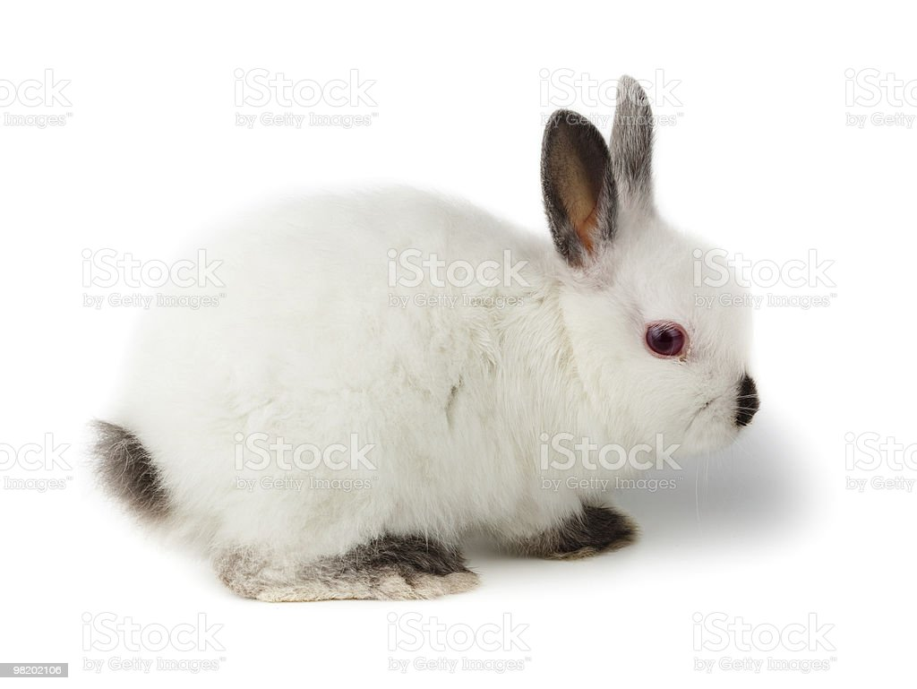 Dwarf rabbit, Oryctolagus cuniculus royalty-free stock photo