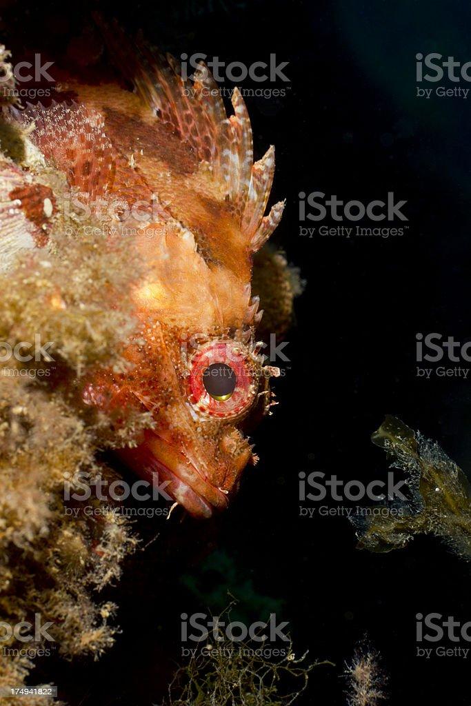 Dwarf rockfish - Scorpaena loppei royalty-free stock photo