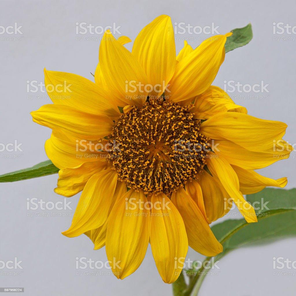 Dwarf Sunflower in bloom stock photo